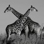 Four Giraffe Species Instead of One
