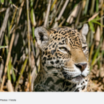 Jaguar conservation depends on neighbors' attitudes