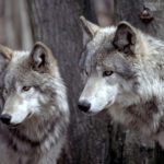 After More Than 100 Years, Wild Wolves Are Returning to Belgium